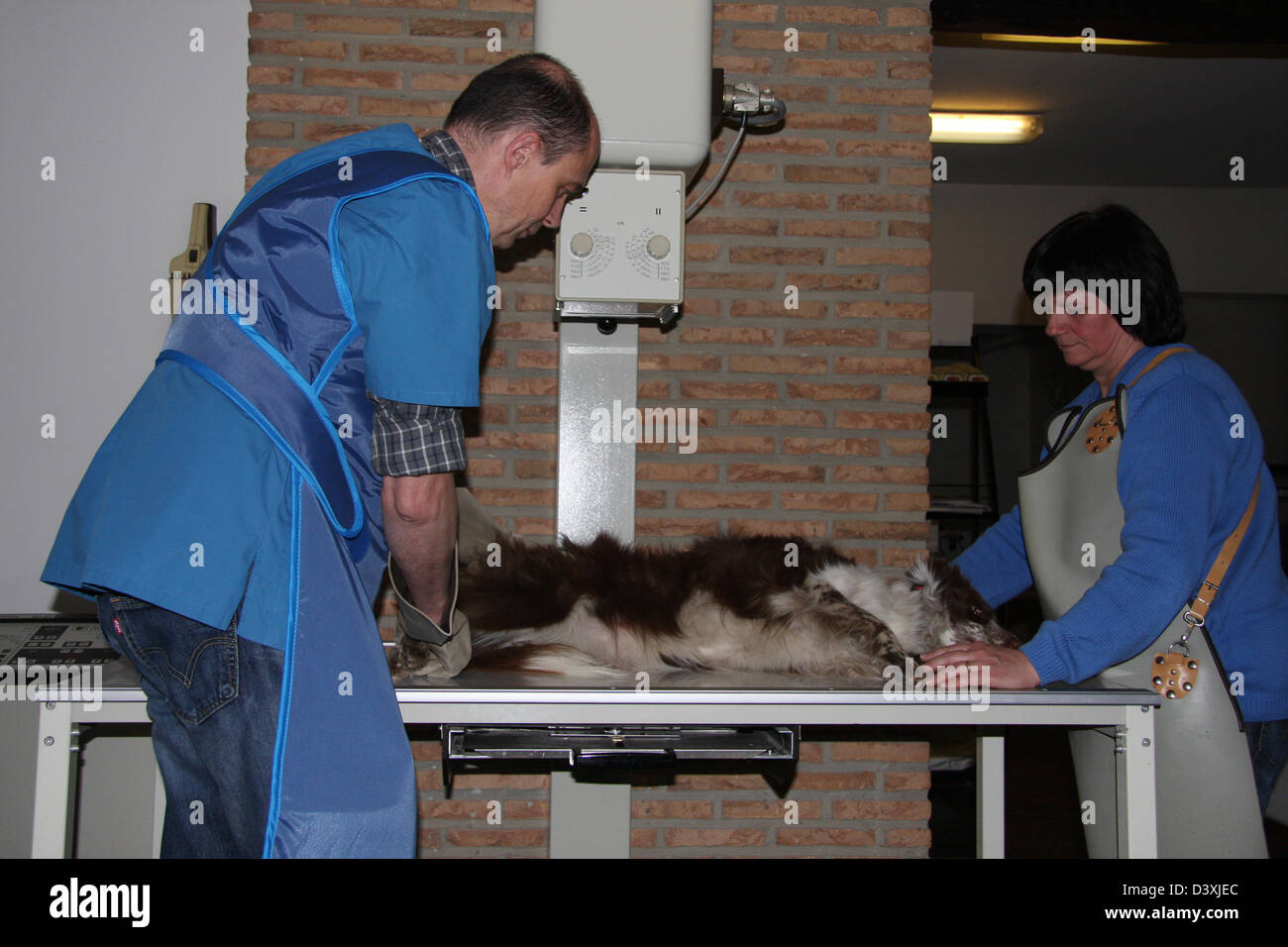 A Border Collie  dog receiving an x-ray by a veterinarian - Stock Image
