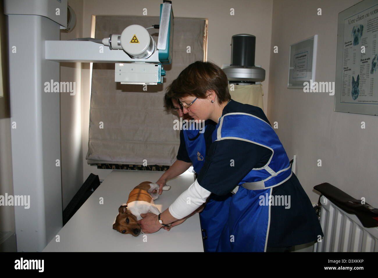 A Jack Russel Terrier dog receiving an x-ray by a veterinarian - Stock Image
