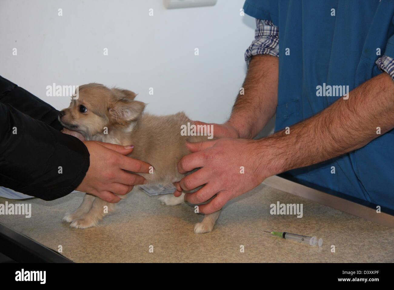 The veterinary examine a Chihuahua Dog - Stock Image