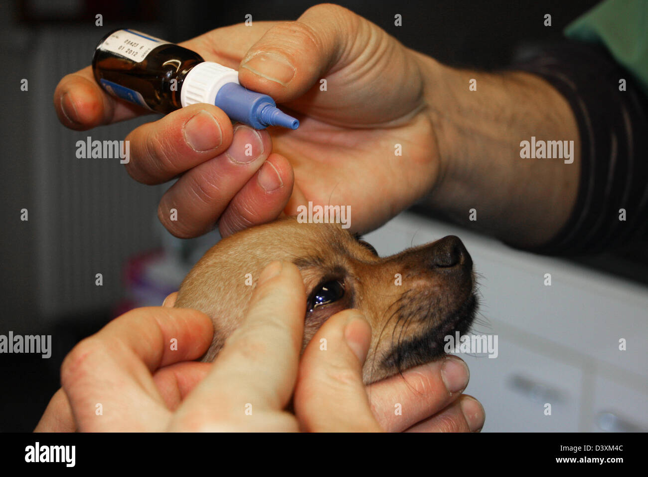 The veterinarian administers drops in the eyes of a dog Chihuahua - Stock Image