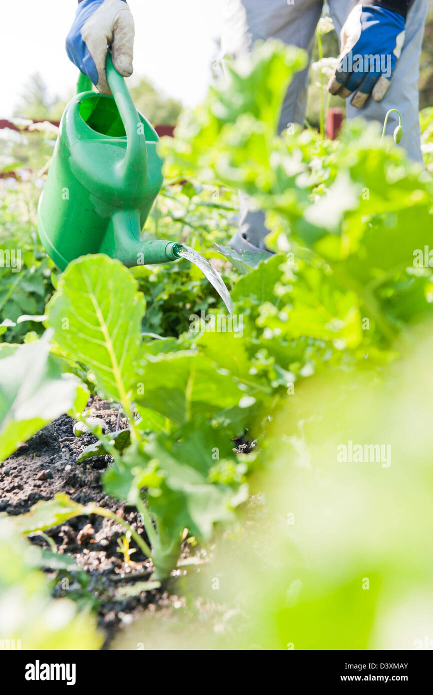 Man with green watering can pouring water on growing vegetables Stock Photo