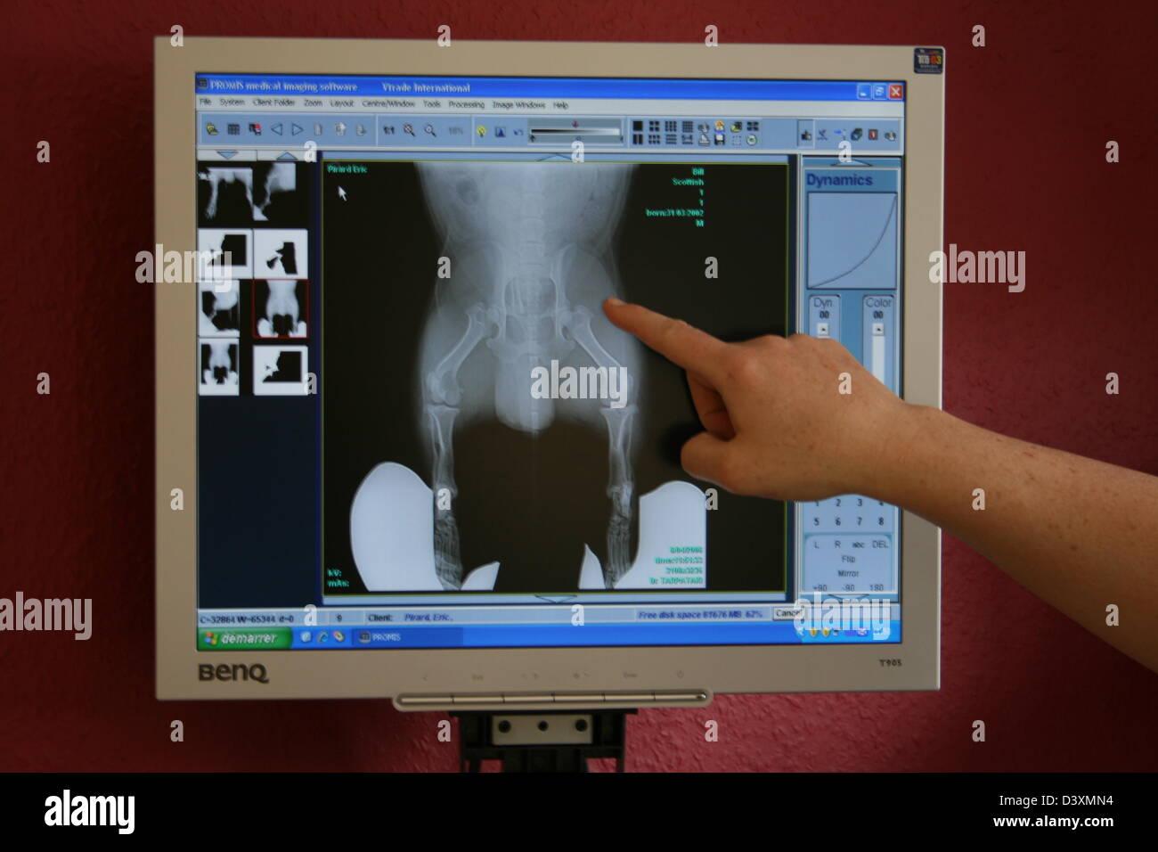 Veterinary Examining X Rays of a dog - Stock Image