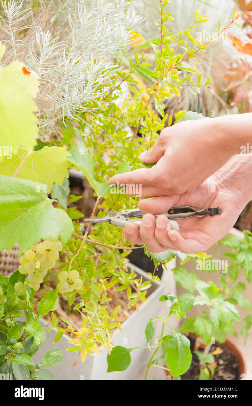 Gardener trim green plant working with pruning shears - Stock Image