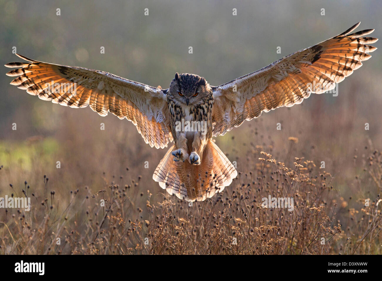 owl with wings spread  European Eagle Owl with wings spread, backlit Stock Photo: 54063013 ...