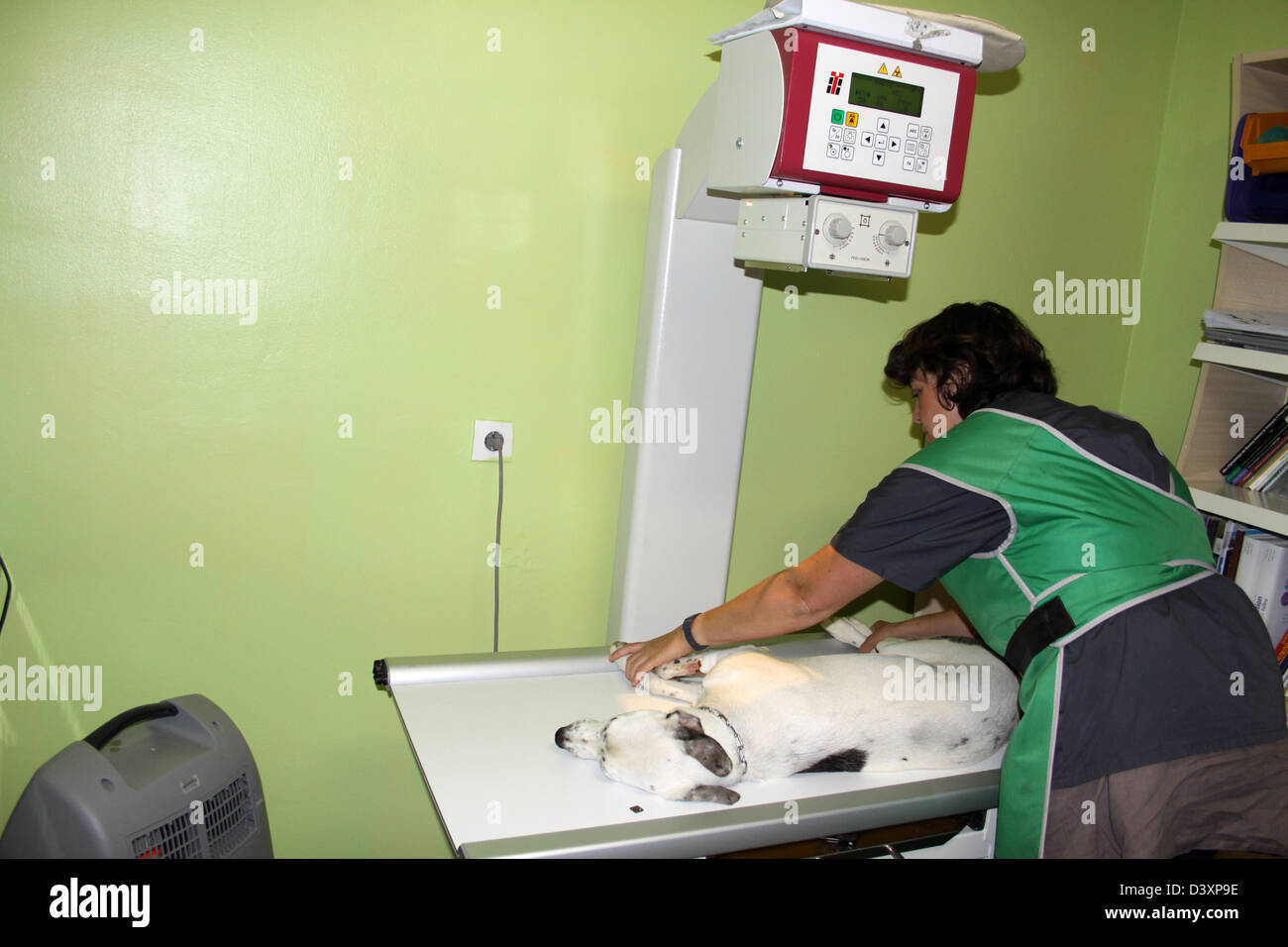A Whippet dog receiving an x-ray by a veterinarian Stock Photo