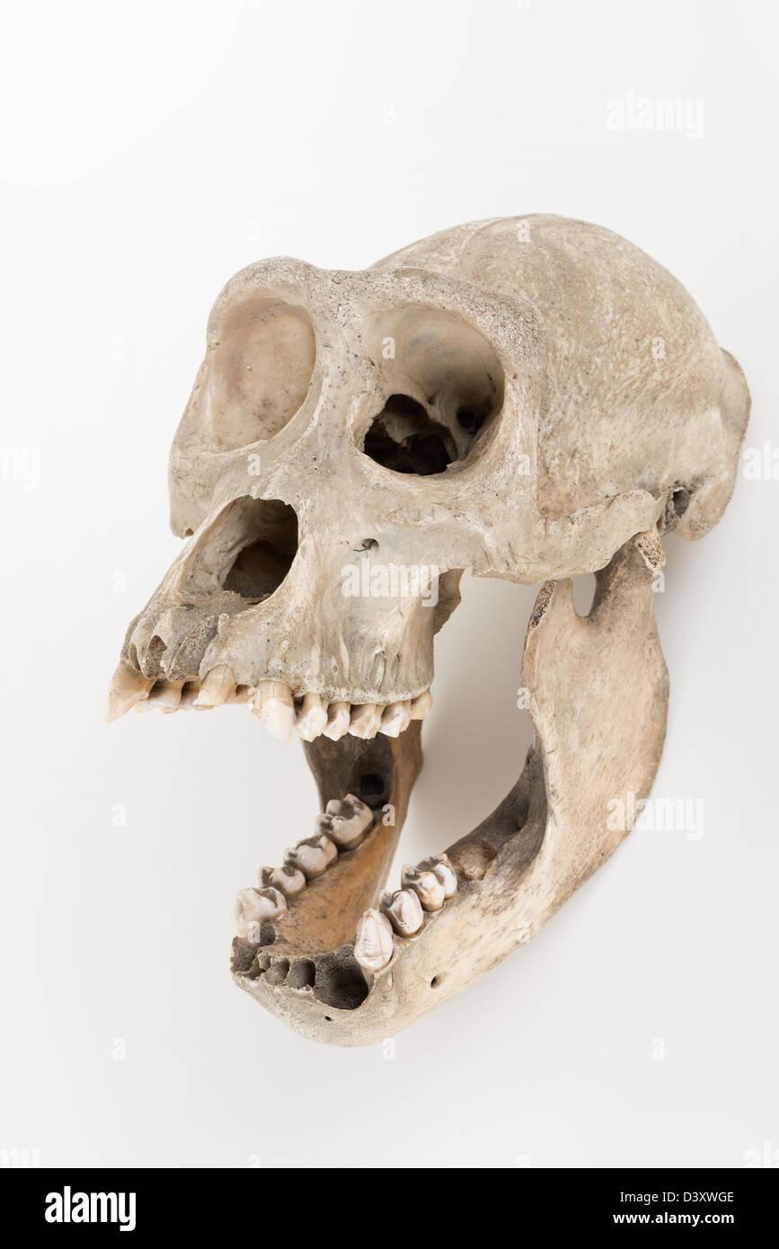 Gorilla Skull Stock Photos & Gorilla Skull Stock Images - Alamy
