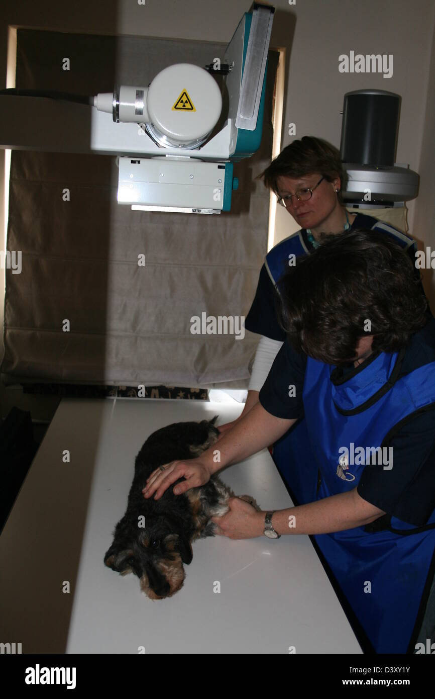 A Dachshund wirehaired dog receiving an x-ray by a veterinarian Stock Photo