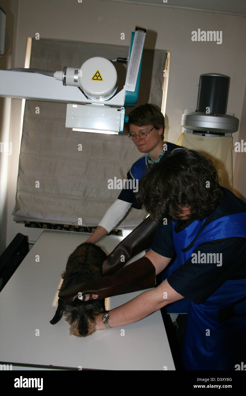 A Dachshund wirehaired dog receiving an x-ray by a veterinarian - Stock Image