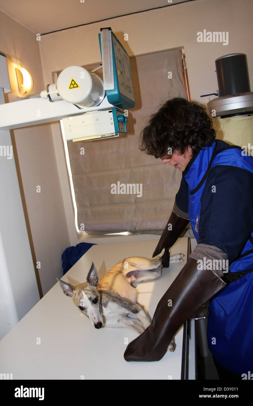 A Whippet dog receiving an x-ray by a veterinarian - Stock Image