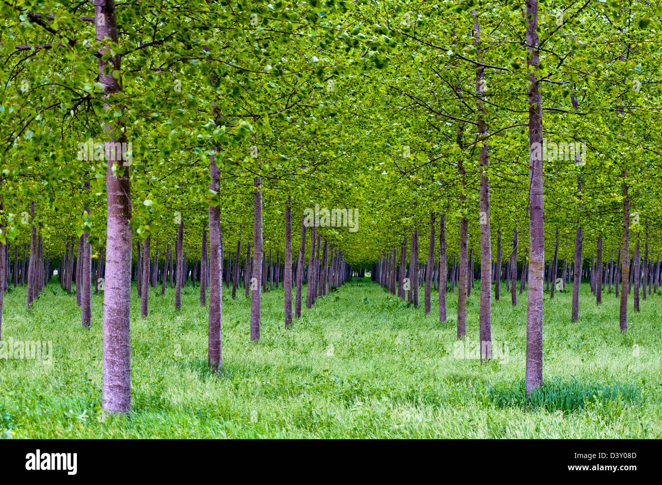 poplars forest in Po Valley, Italy - Stock Image