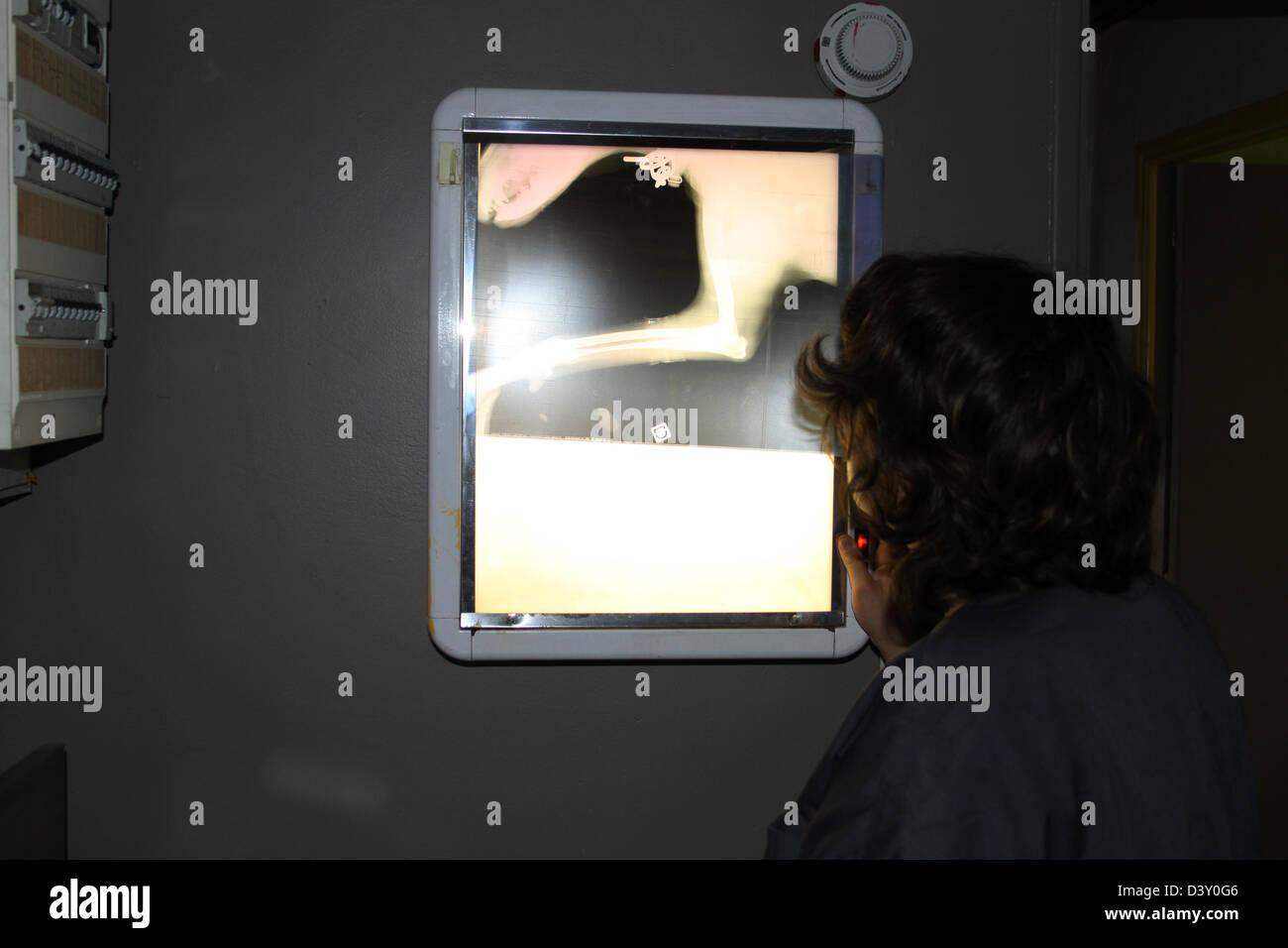 Veterinary Examining X Rays of a dog Stock Photo