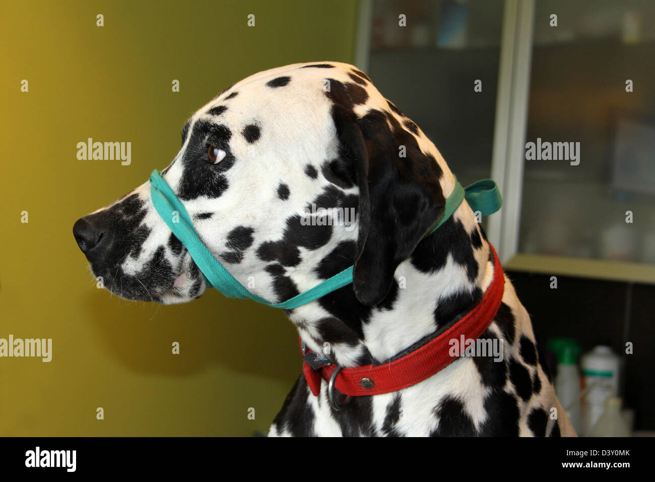 Dalmatian dog with a muzzle to the veterinarian - Stock Image