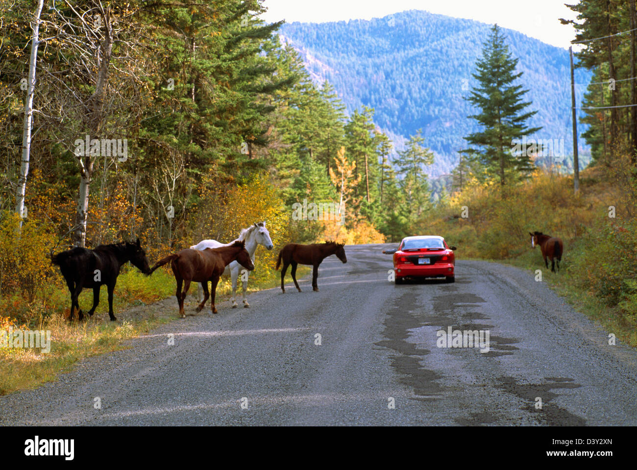 A Herd of Free Roaming Wild Horses walking and grazing along a Country Road, North America - Stock Image