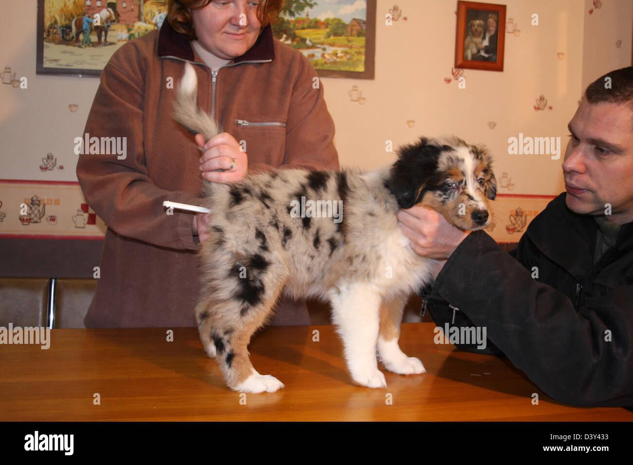 Veterinary taking temperature to a Dog Australian shepherd / Aussie - Stock Image