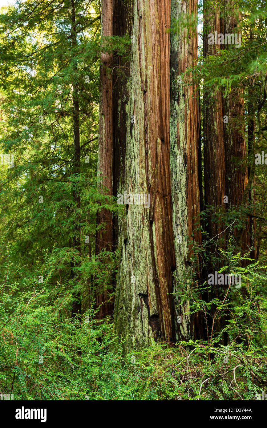 REDWOOD TREES IN BIG BASIN REDWOODS STATE PARK - Stock Image