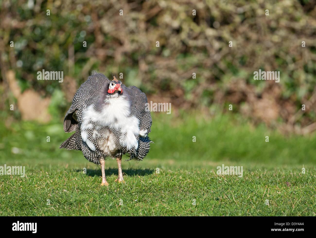 Helmeted Guinea fowl, Numida meleagris. - Stock Image