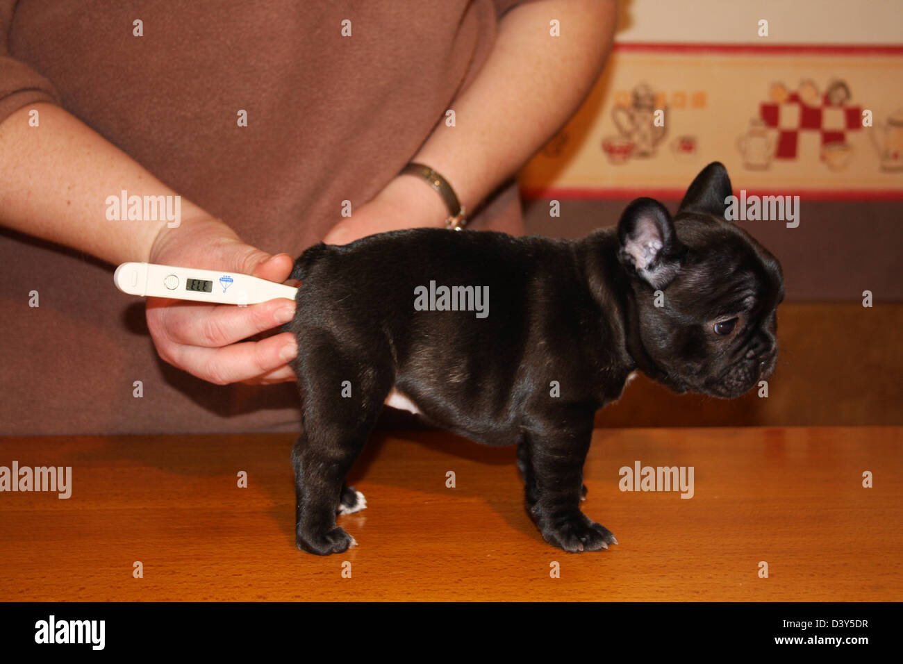 Veterinary taking temperature to a Dog French Bulldog puppy - Stock Image