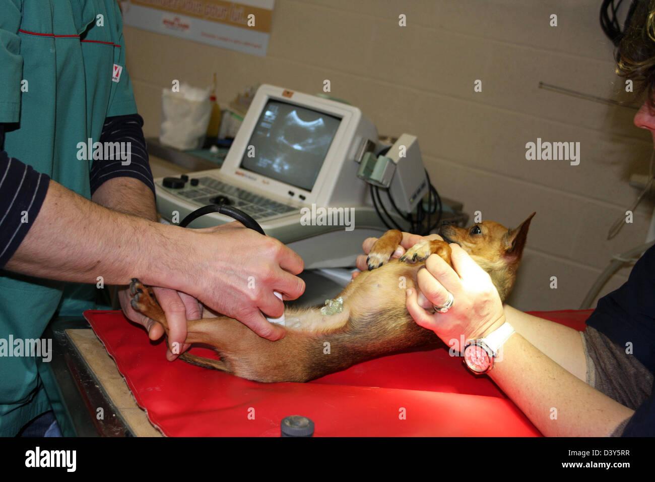 veterinarian echography / dog chihuahua - Stock Image
