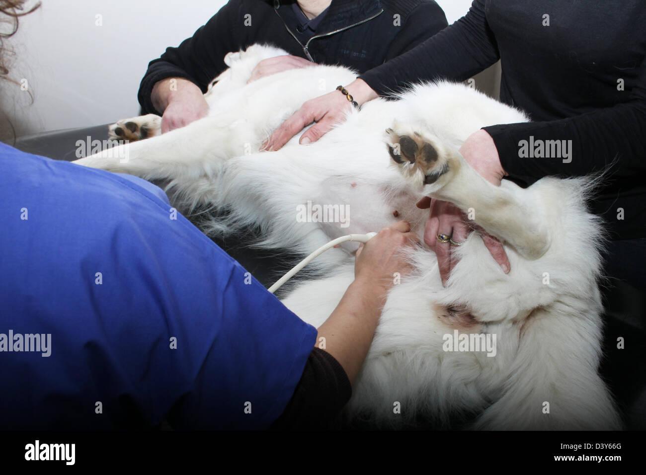 veterinarian echography / dog White Swiss Shepherd Dog / Berger blanc suisse - Stock Image