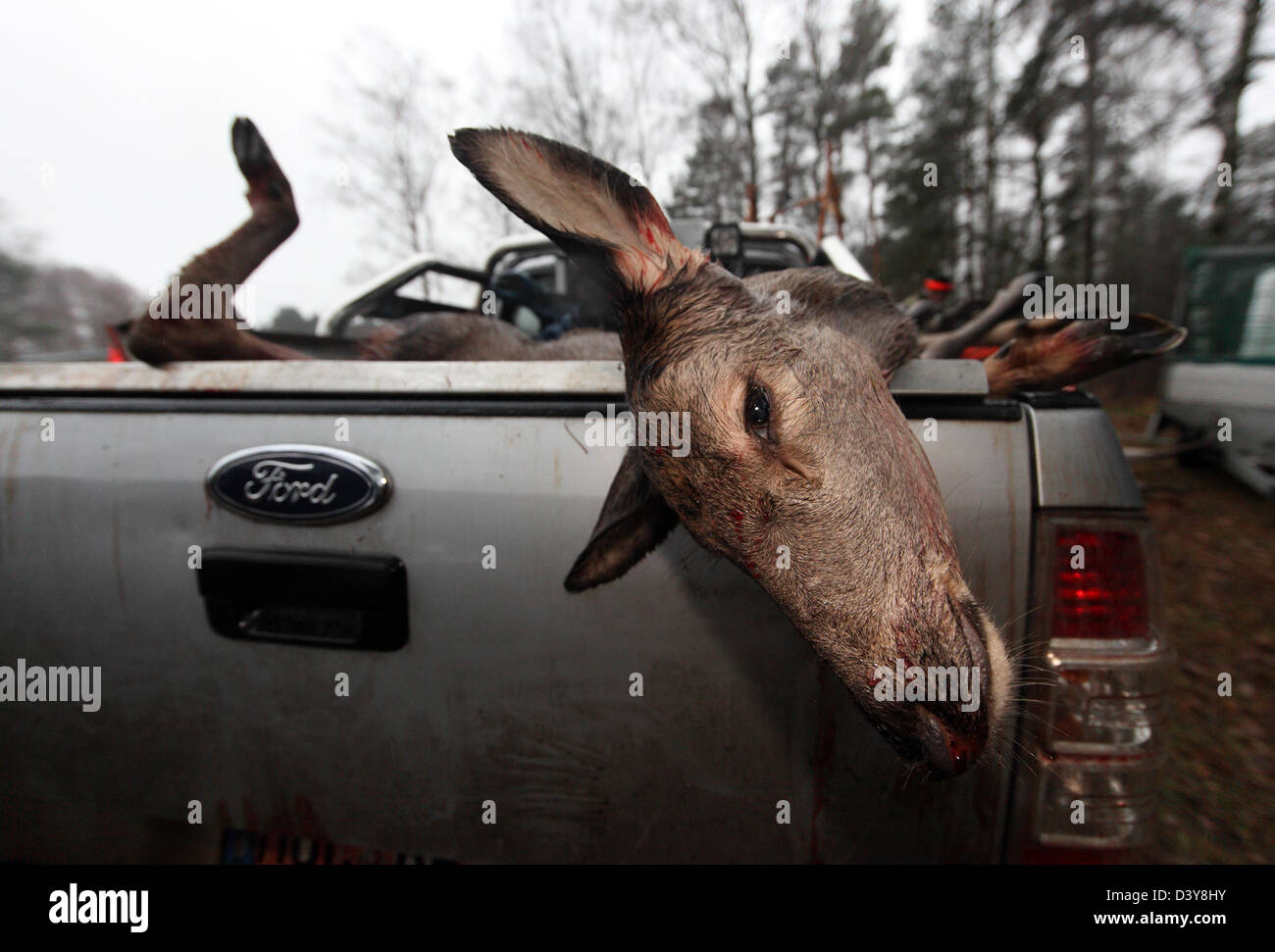 Lehnitz, Germany, place killed deer depends on the loading area of a car - Stock Image