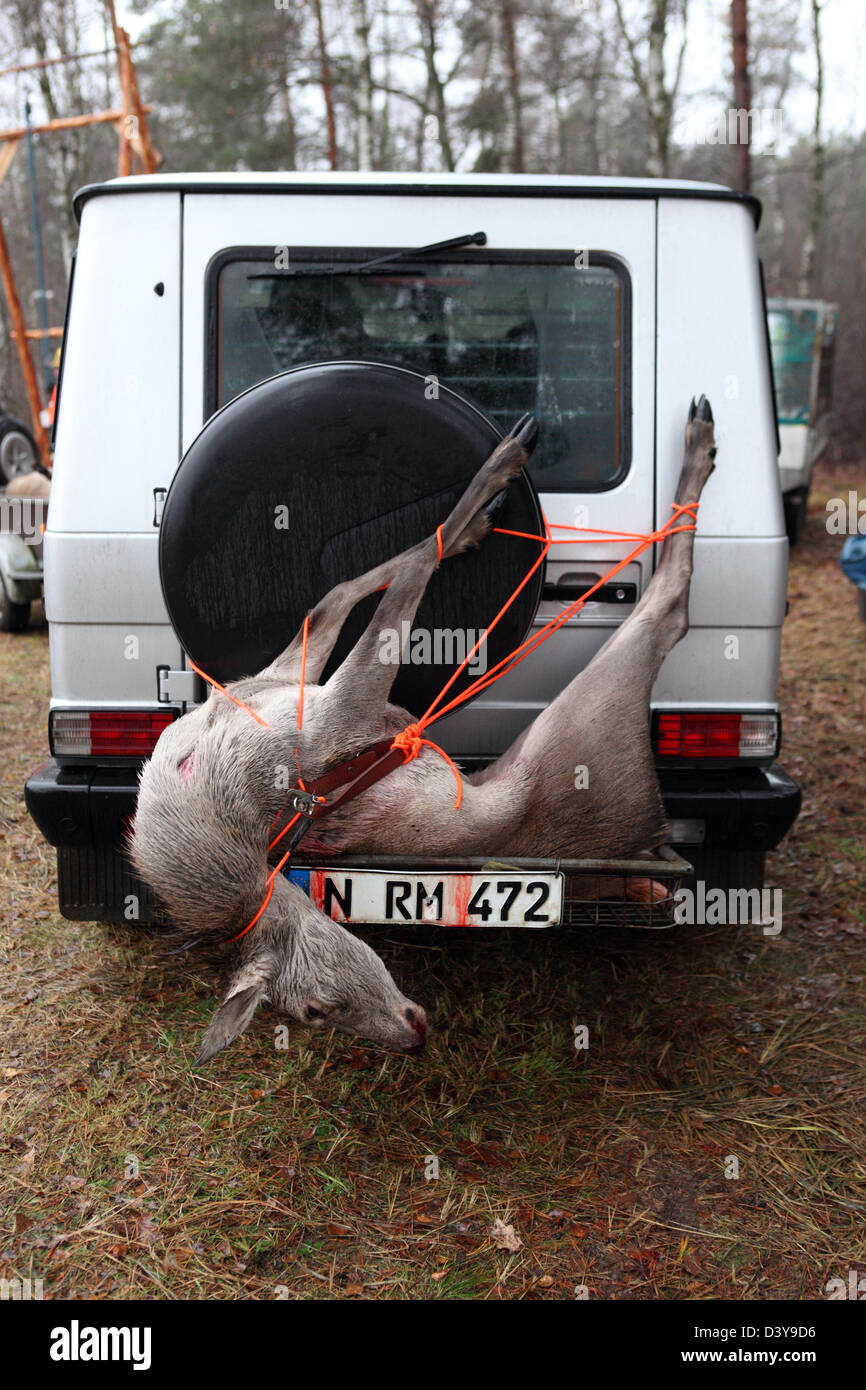 Lehnitz, Germany, place killed deer is tied to the rear of a car Stock Photo