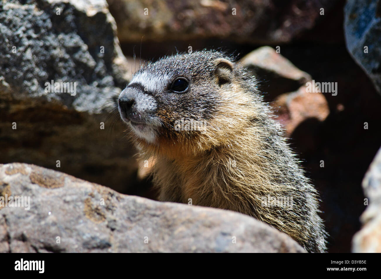 close up of a cute furry young Marmot, Yosemite national park - Stock Image