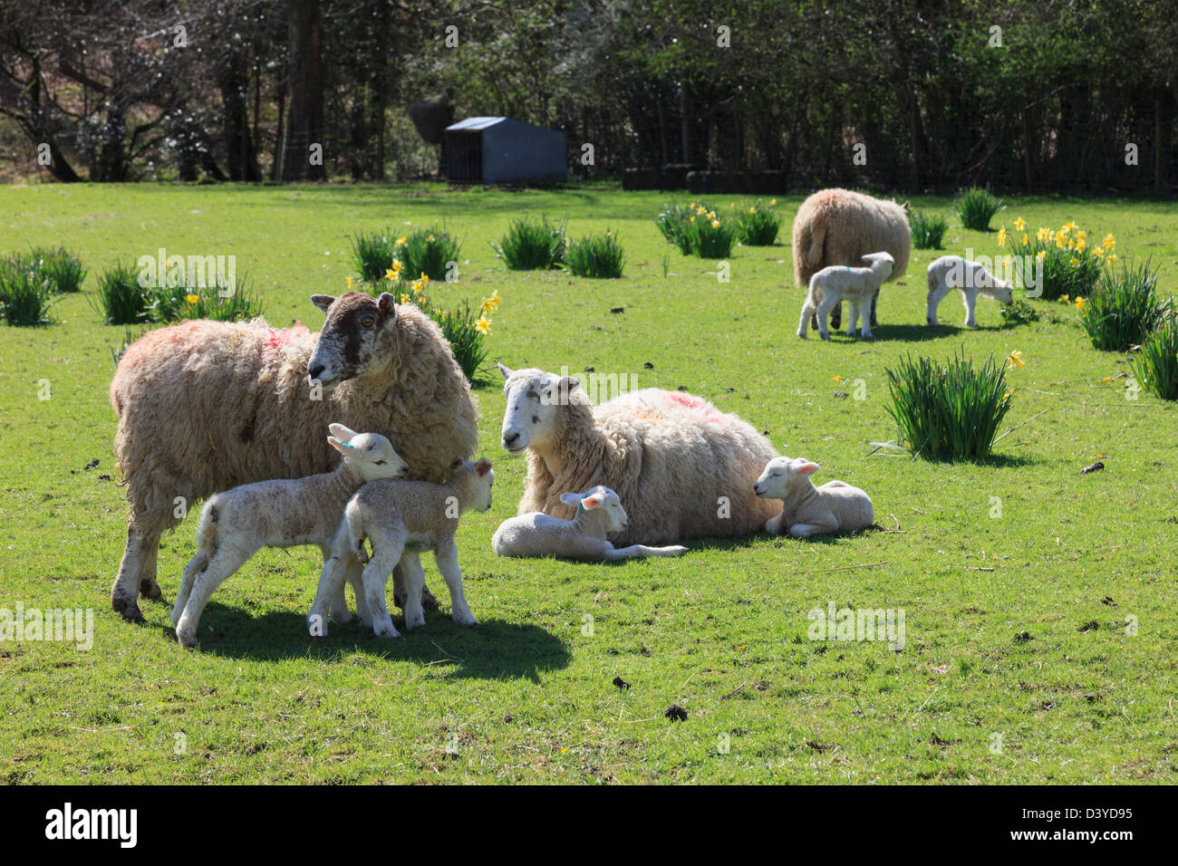 Sheep ewes with newborn twin lambs in a field of wild daffodils in spring in Lake District National Park, Cumbria, - Stock Image