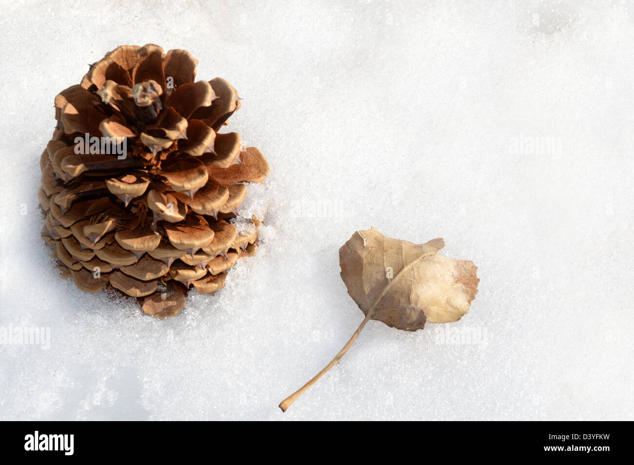 Conifer cone and cottonwood leaf on snow - Stock Image