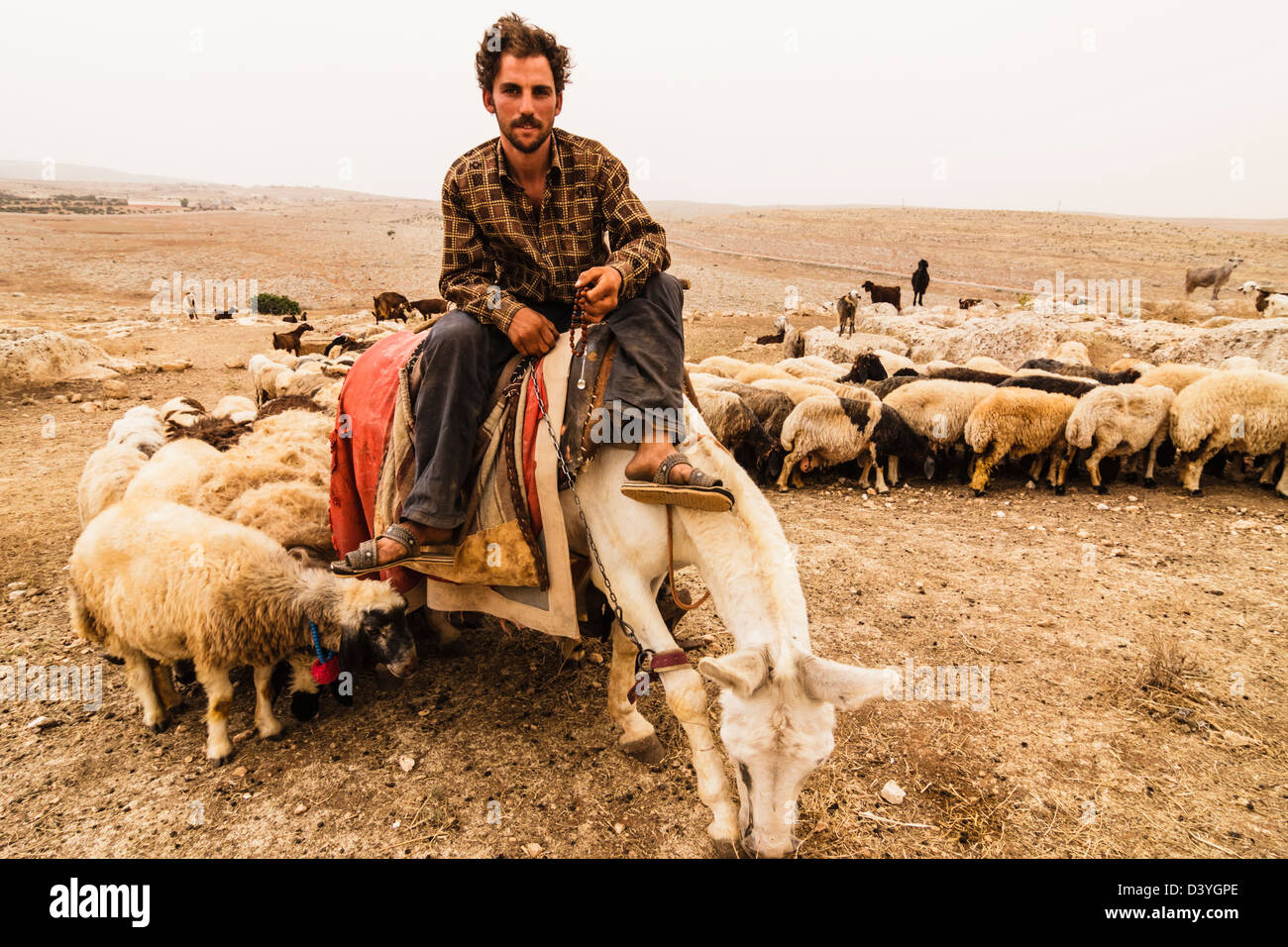 Shepherd with flock of sheep. Stock Photo