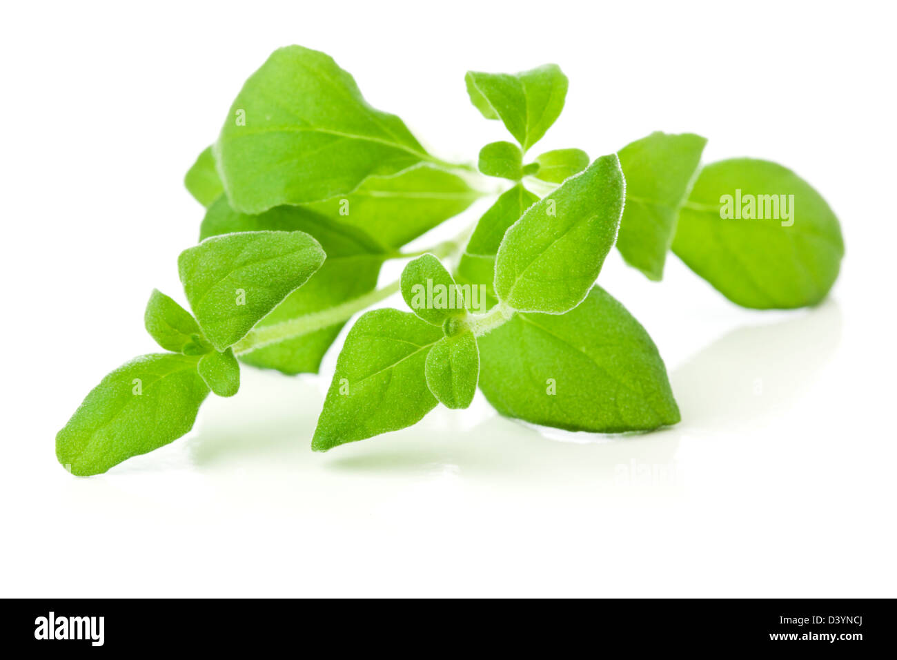 marjoram sprig on white background - Stock Image