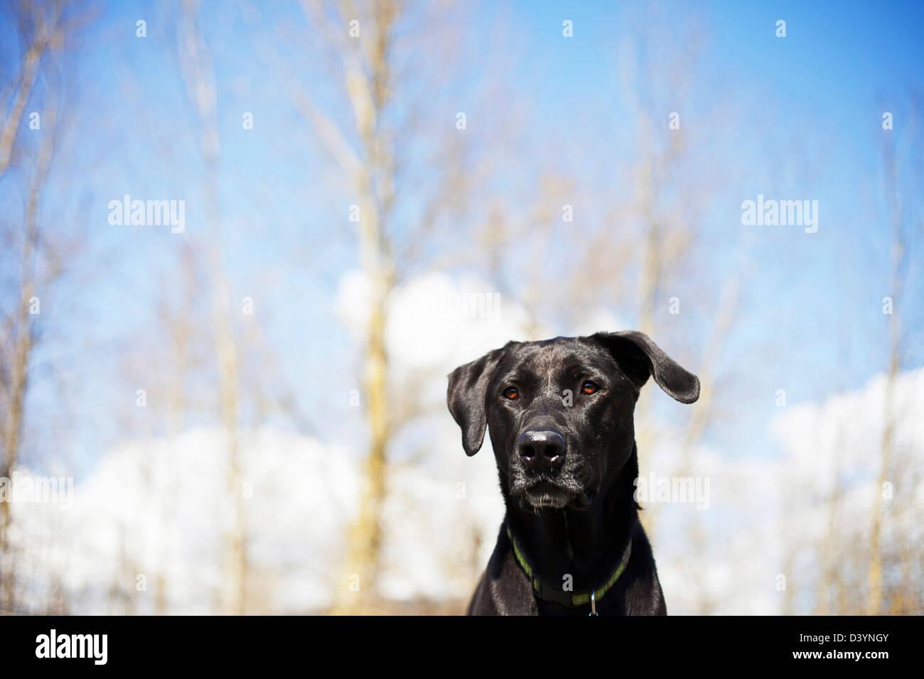 Mixed Breed Labrador Retriever, British Columbia, Canada Stock Photo