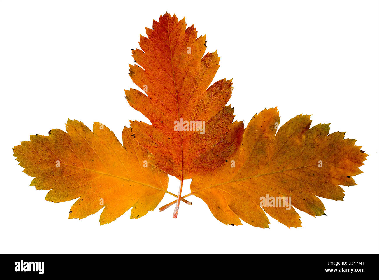 Three leaf of a rowan-tree are photographed on the white background Stock Photo