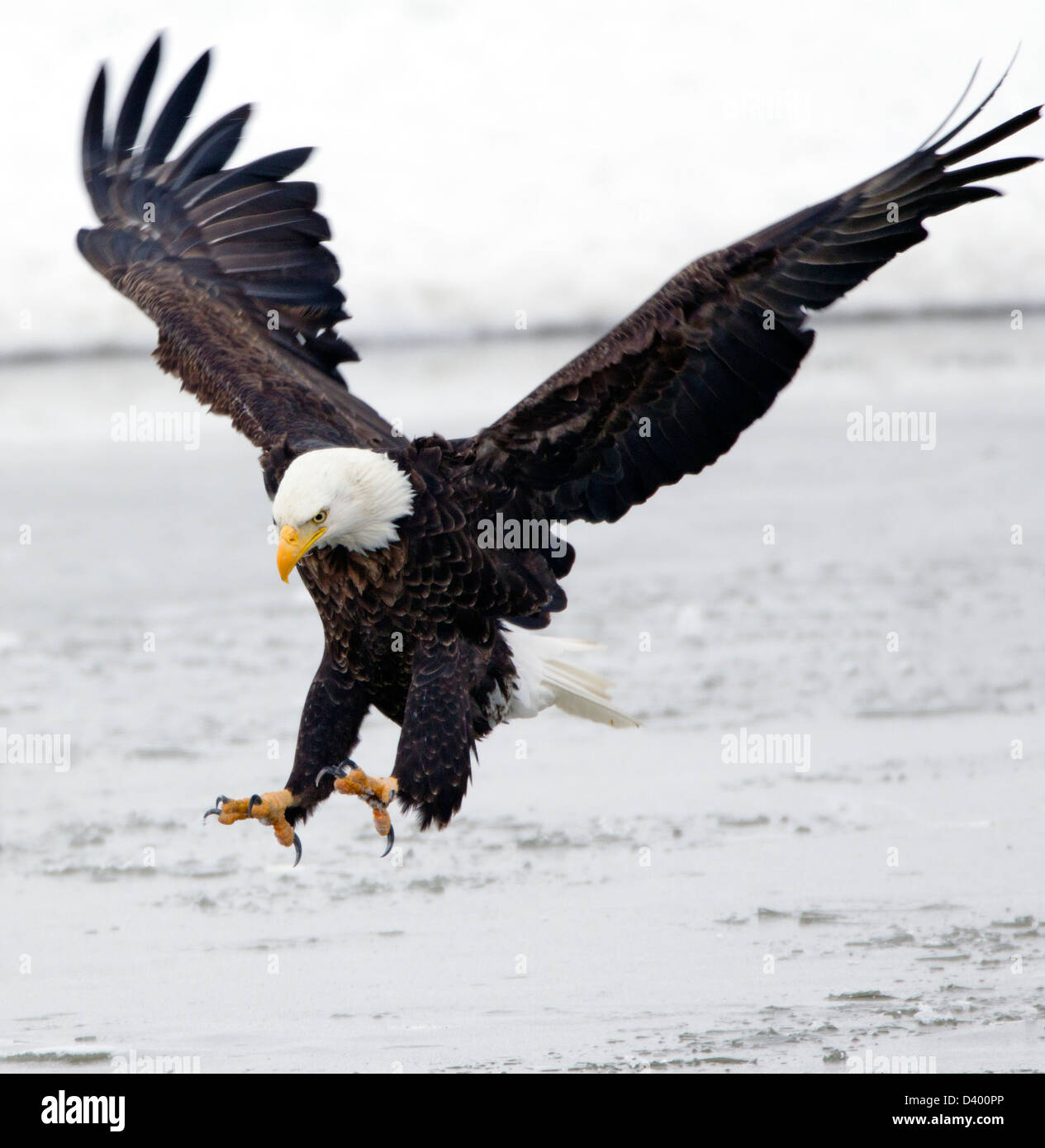Bald Eagle Landing Talons - Stock Image