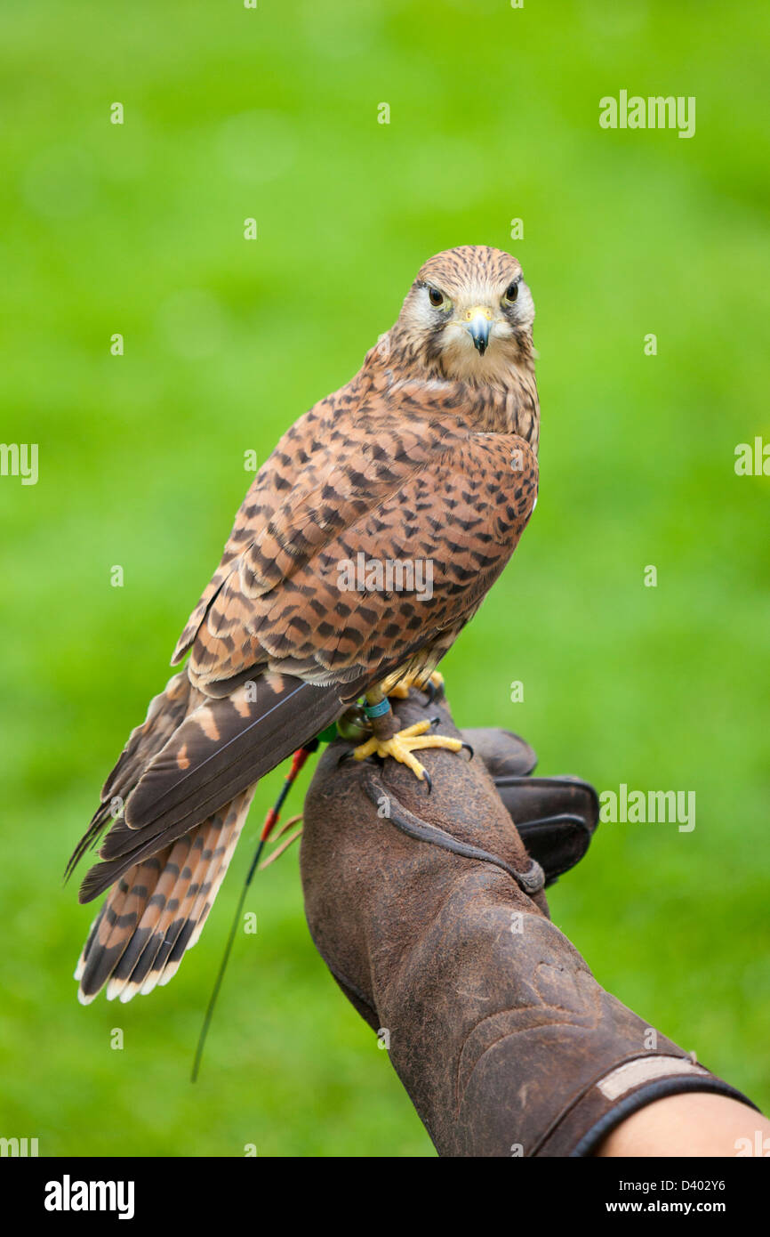 A Female Common Kestrel perches on a falconers glove. - Stock Image