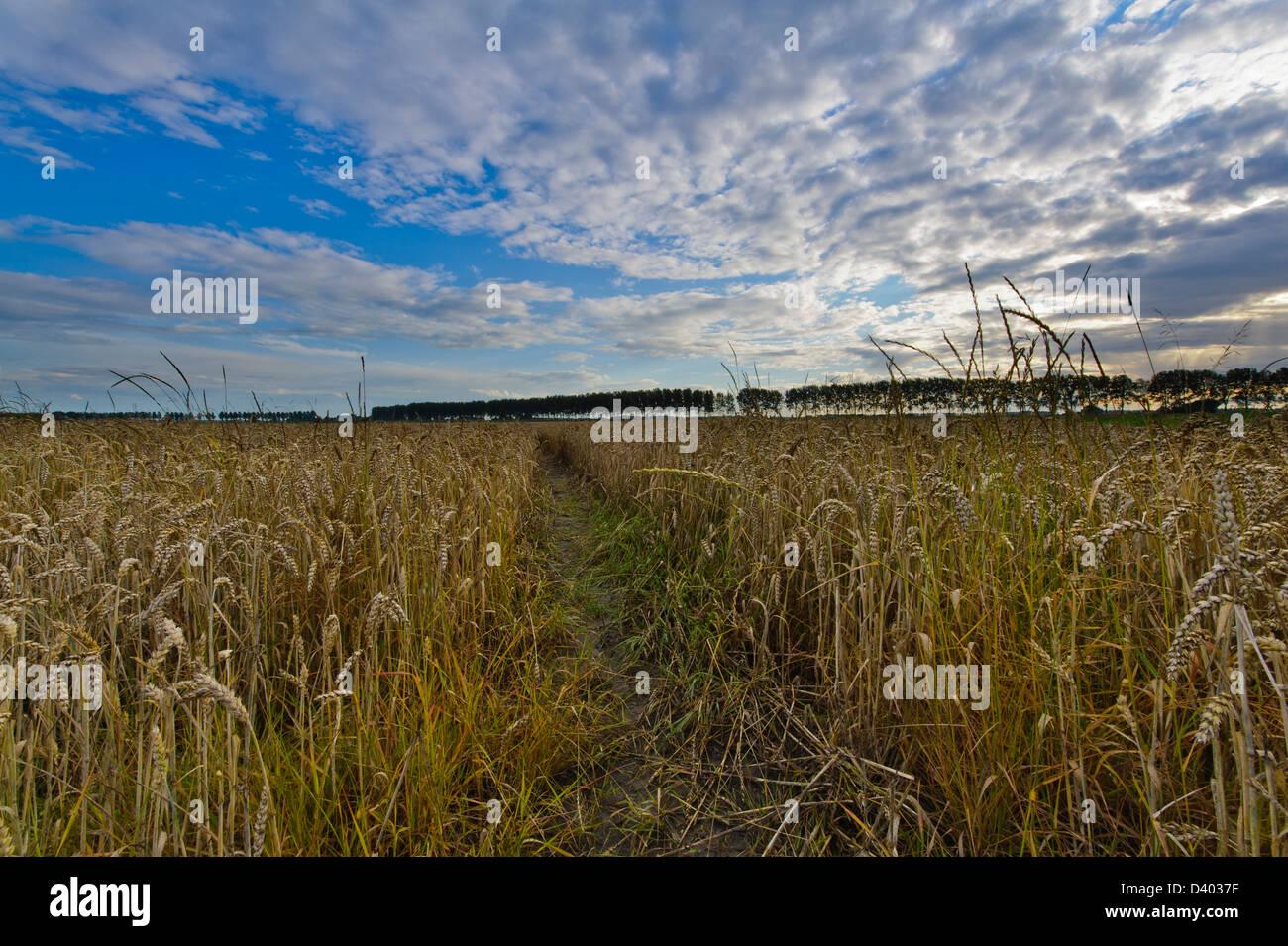 Wheat field in the  Hertogin Hedwige polder''  in Zeeuws Vlaanderen. Zeeland. Netherlands. - Stock Image