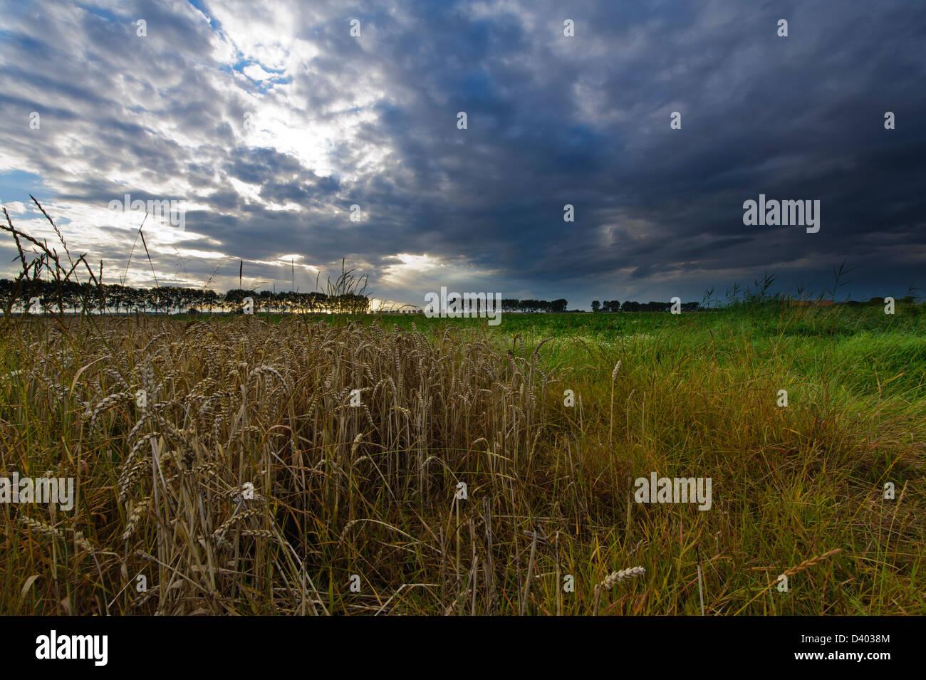 Approaching thunderstorm above a wheat field in the  Hertogin Hedwige polder''  in Zeeuws Vlaanderen. Zeeland. - Stock Image