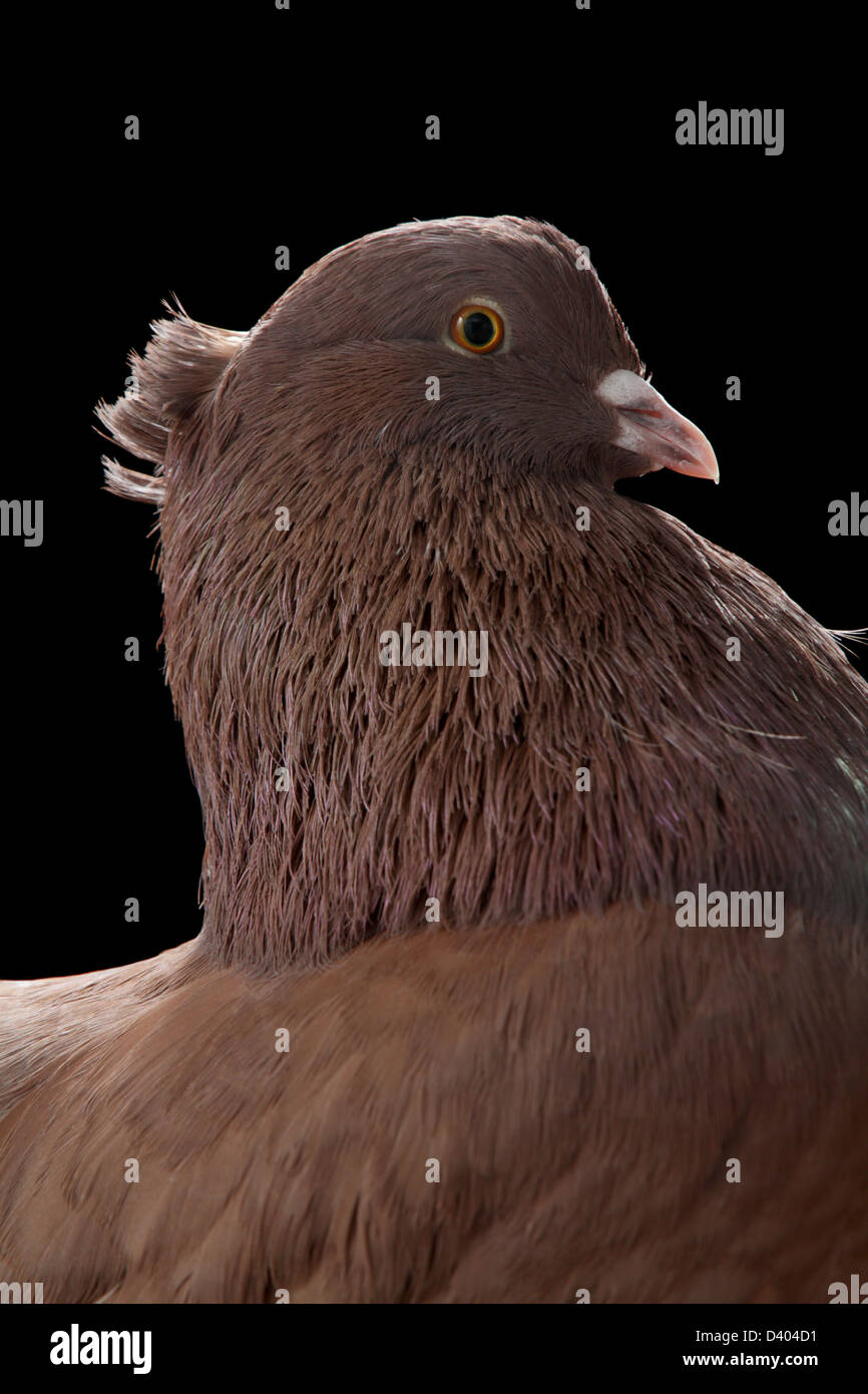 Close-up portrait of an Indian fantail fancy pigeon, junior reserve champion, 2013 Northeastern Poultry Congress, - Stock Image