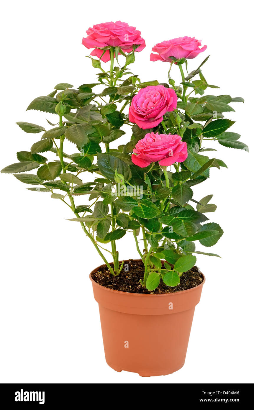 Pink rose in the flower pot isolated on white background stock photo pink rose in the flower pot isolated on white background mightylinksfo