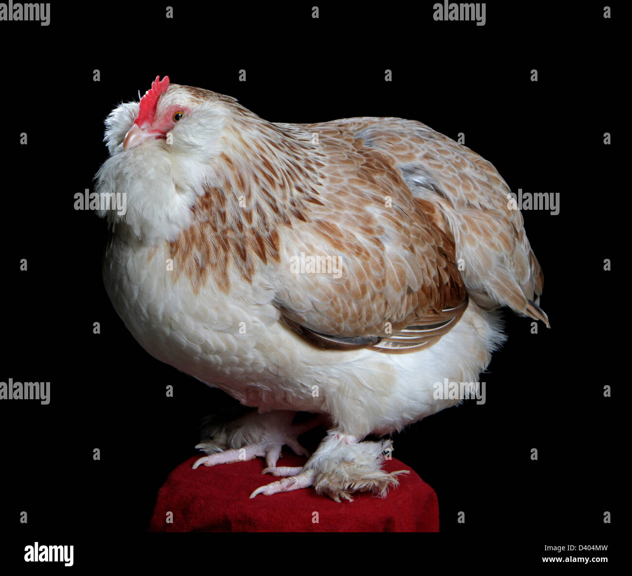 Portrait of a salmon faverolles hen, reserve champion (continental), 2013 Northeastern Poultry Congress, W. Springfield, - Stock Image