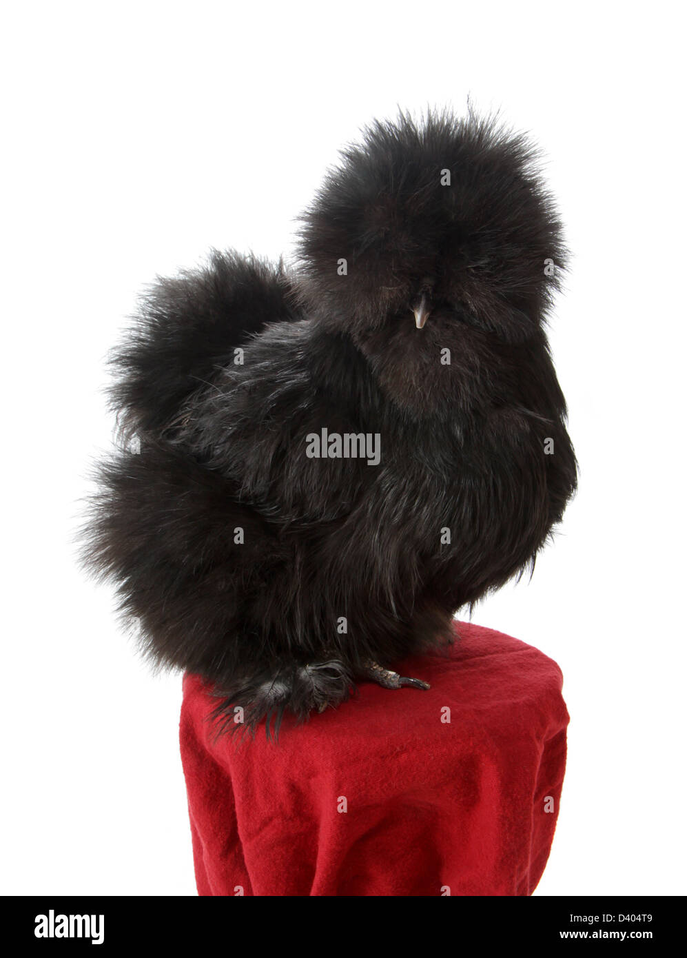 Portrait of a bearded black silkie chicken (hen) at the 2013 Northeastern Poultry Congress in W. Springfield, MA. - Stock Image