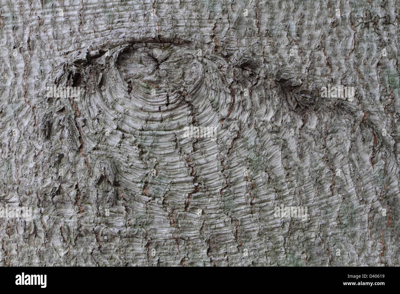 A branch scar in the bark of an American beech, Fagus grandifolia. - Stock Image