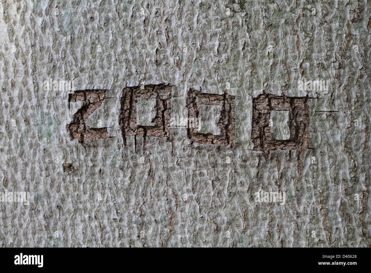 The year 2000 carved into the bark of an American beech (Fagus grandifolia), photographed 12 years later. - Stock Image