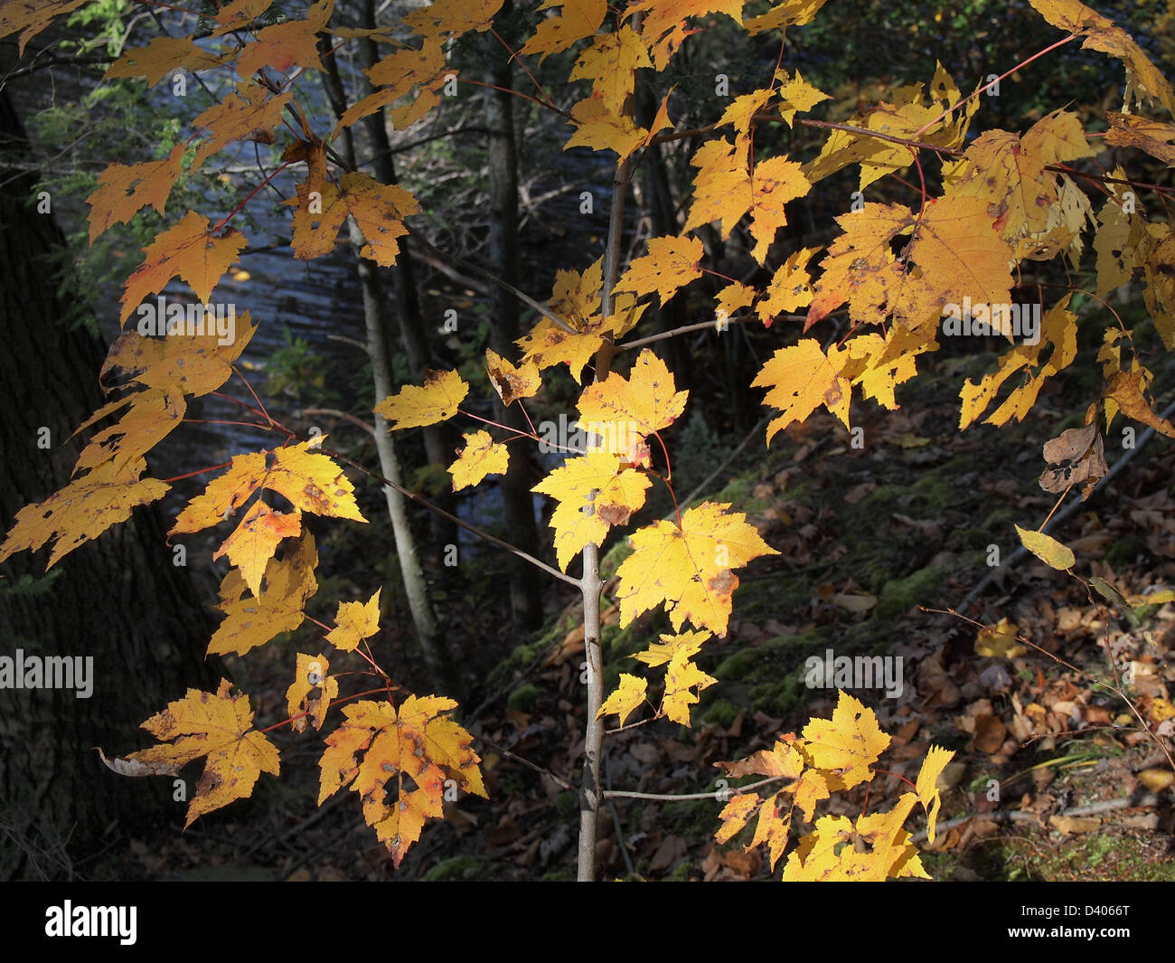 Young maple tree foliage turning yellow in autumn, New York, USA ...