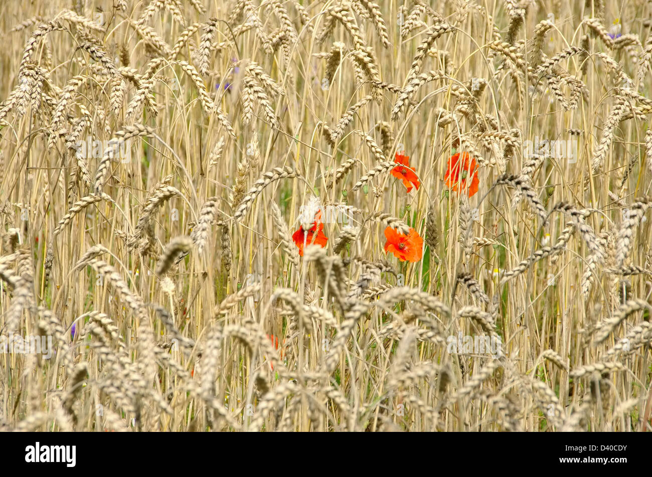 Klatschmohn im Feld - corn poppy in field 09 - Stock Image