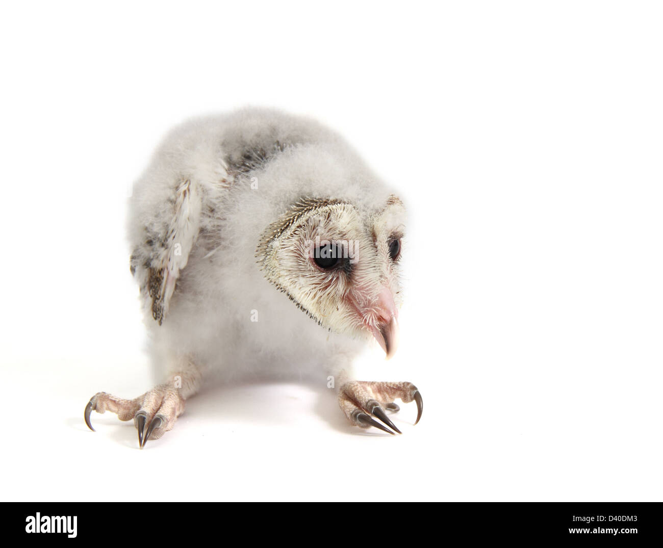 barn owl chick tyto alba photographed against a white background and prepared ready for cut-out - Stock Image