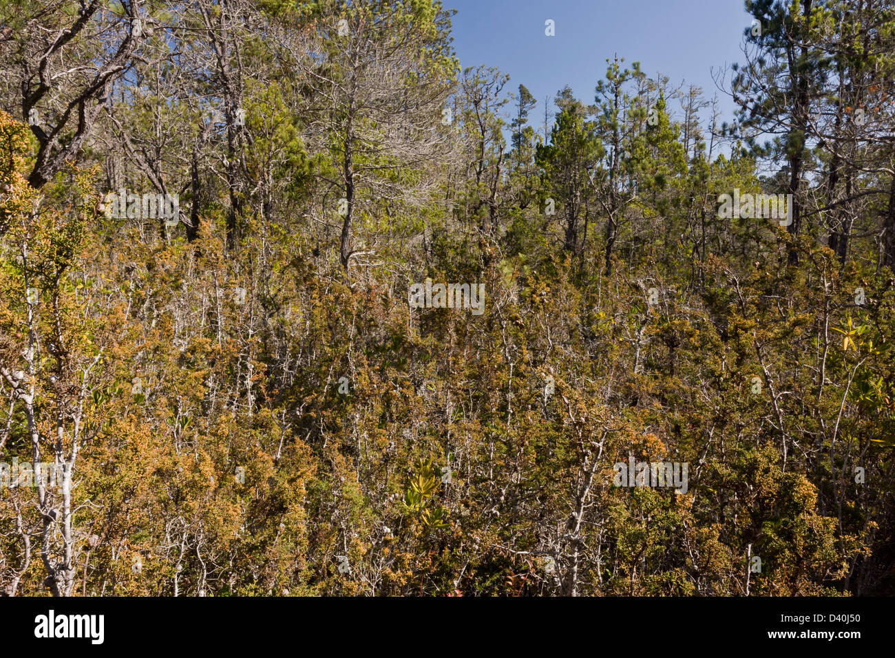 Mendocino pygmy forest, with dwarfed Bishop pine, Bolander pine, and Mendocino cypress growing on old marine terrace, - Stock Image