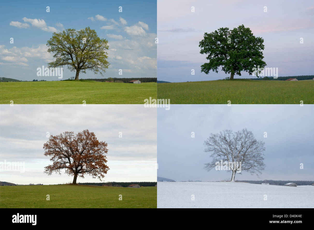 Same Oak Tree in Four Seasons - Spring, Summer, Autumn and Winter. - Stock Image