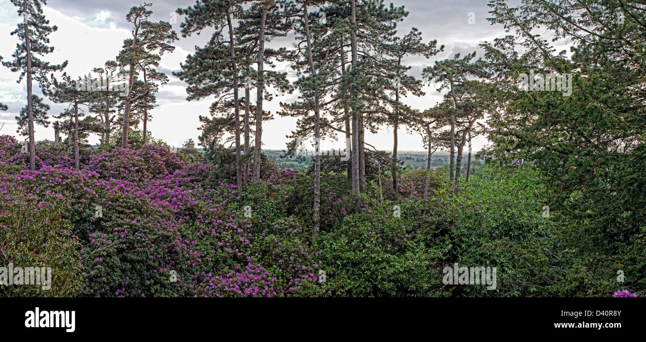 Conifer woodland and rhododendrons at Hawkstone park - Stock Image