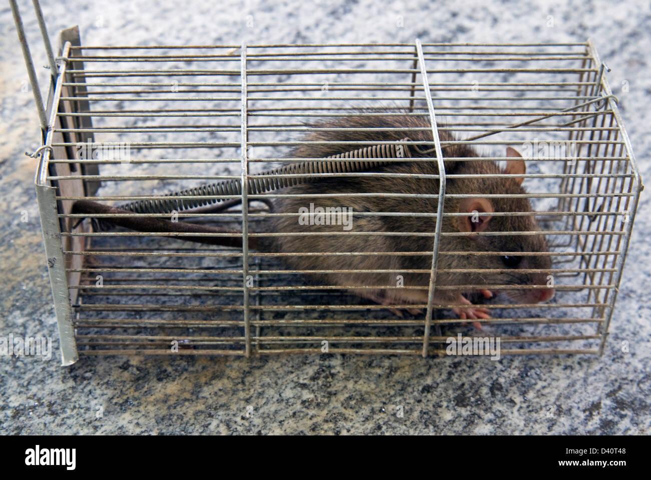 Brown rat, common rat, street rat, sewer rat, Hanover rat, Norway rat, brown Norway rat, Norwegian rat, or wharf - Stock Image