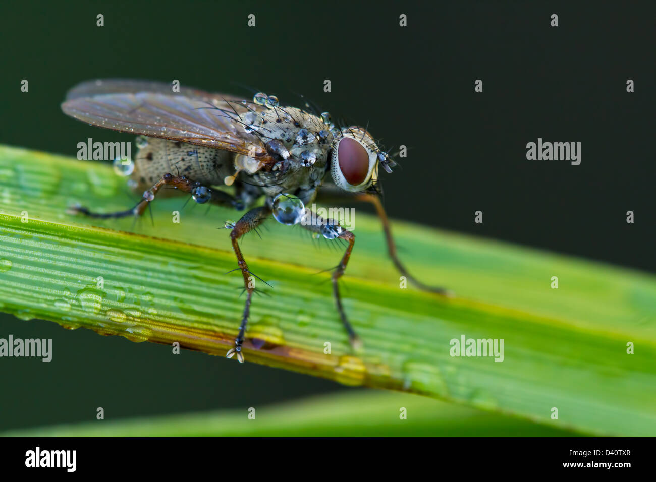 Macro photography of Tachinid fly perched on a green leaf with morning dew drops Stock Photo